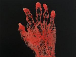 Illustration nº 3 : Configuration des vaissaux sanguins de la main et de l'avant-bras.
