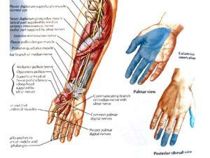 Illustration nº 10 : Nerf médian et son territoire cutané.Atlas humain d'anatomie.