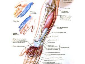 Illustration nº 11 : Nerf ulnaire et son territoire cutané.Atlas humain d'anatomie.