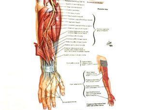 Illustration nº 12 : Nerf radial et son territoire cutané.Atlas humain d'anatomie.