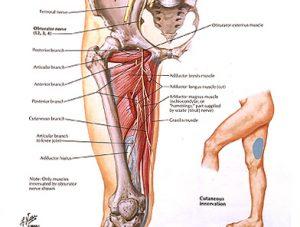 Illustration nº 14 : Nerf obturateur et son territoire cutané.Atlas humain d'anatomie.