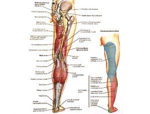 Illustration nº 15 : Nerf sciatique et son territoire cutané.Atlas humain d'anatomie.