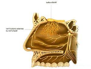Illustration nº 16 : Nerf olfactif (nerf crânien I), vue de profil. Manipulations des nerfs crâniens.