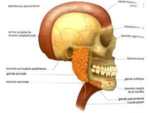 Illustration nº 19 : Nerf fascial (nerf crânien VII).Manipulations des nerfs crâniens.