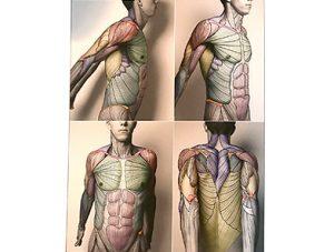 Illustration nº 23 : Muscles du tronc et membre supérieur. L'anatomie pour les sculpteurs.
