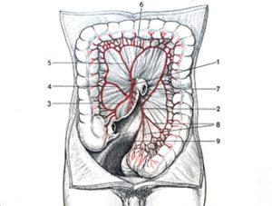 Illustration nº 6 : Artères du colon.Anatomie médico-chirurgicale de l'abdomen.