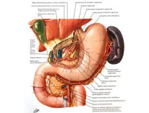 Illustration nº 9 : Tronc et plexus cœliaque en rapport avec les viscères abdominaux.